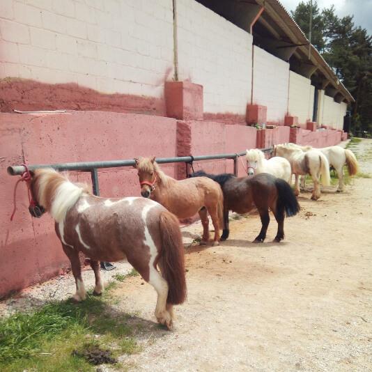 grupo de ponys en establo de morgovejo