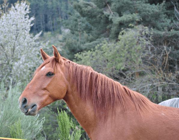 caballo castaño con marca blanca en la frente