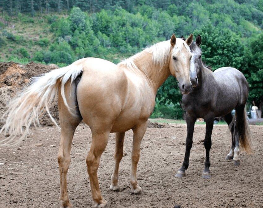 caballos marrones