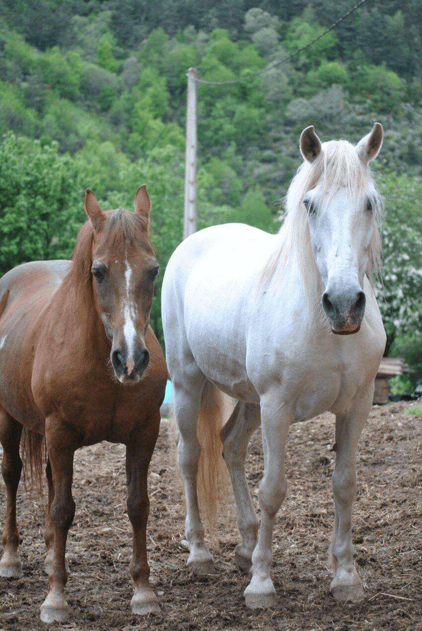 foto de dos caballos, marrón y blanco